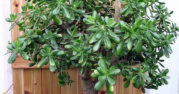 """Japansko drvo novca, feng shui ili krasula – biljka koja """"donosi"""" novac"""