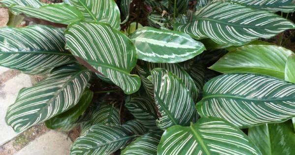 Kalateja – tropska biljka prelepih listova