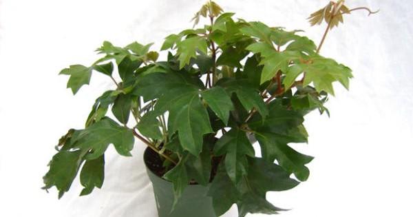 Lozica – omiljena sobna biljka koja ne gubi na popularnosti