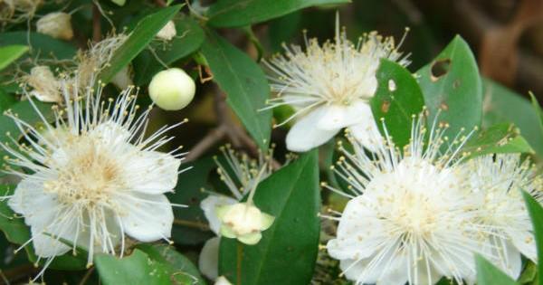 Mirta – lekovita i ukrasna biljka
