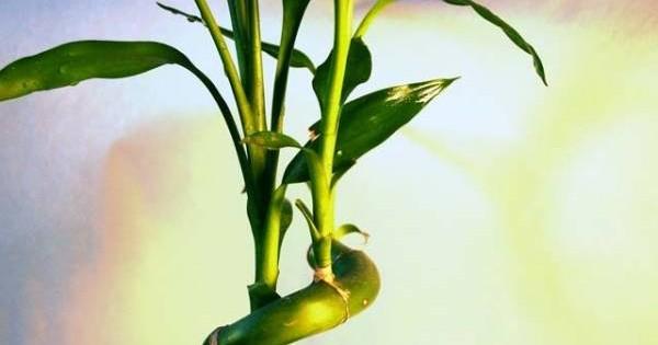 Bambus – i sobna i baštenska biljka