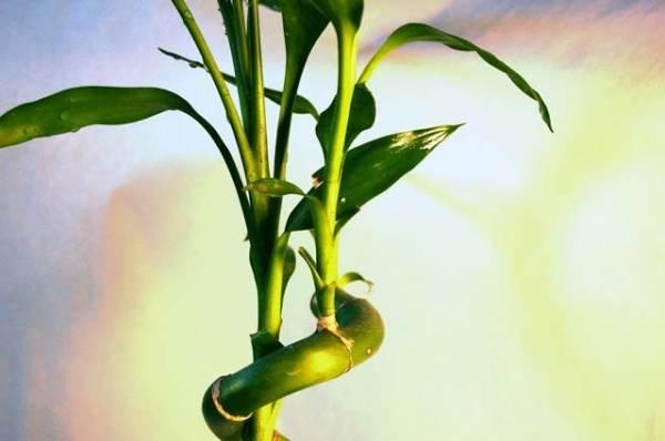 bambus-cvece