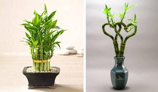 bambus uzgoj