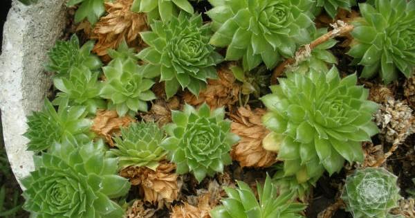 Čuvarkuća – otporna, lekovita i uvek sveža biljka