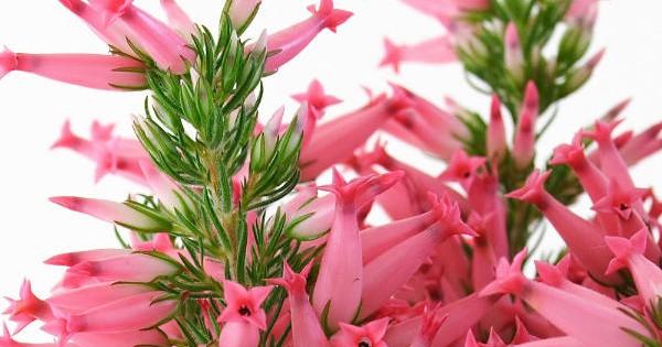 Erika – zimzelena biljka idealna za vrt ili saksije