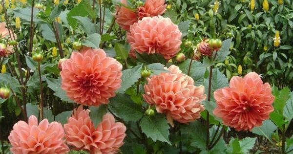 Dalija (georgina) – cvetovi raznih oblika i boja ulepšaće svaki vrt
