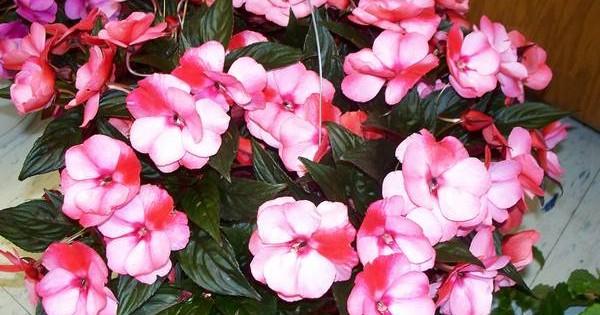 Cveće Nova Gvineja – I sobna i baštenska biljka