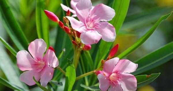 Lijander – lepa ali opojna biljka