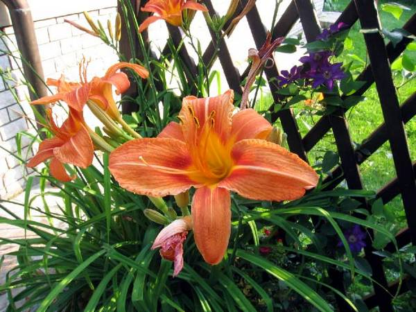 Ljiljani cvece