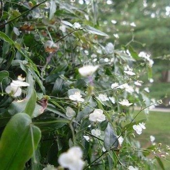 Nevestin veo – mirisni cvetni pokrivač