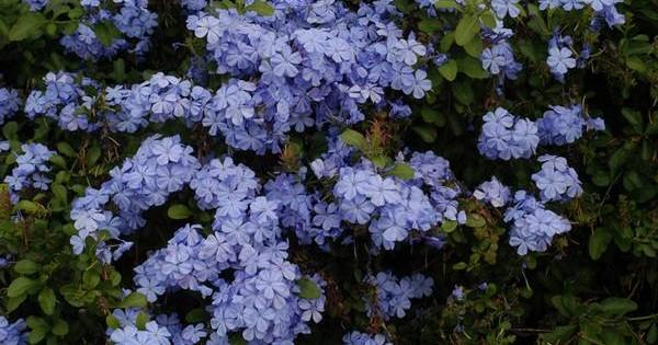 Plumbago – prelepe nijanse plavih cvetova