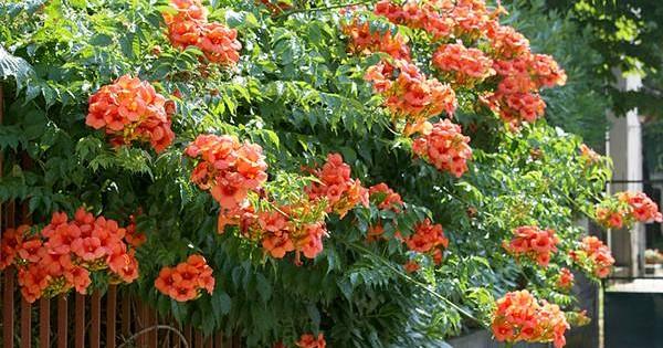 Tekoma – dekorativno stablo ili cvetna penjačica