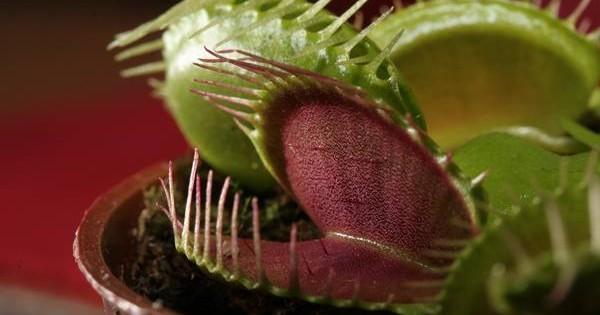 Biljke mesožderke – opasnost za insekte