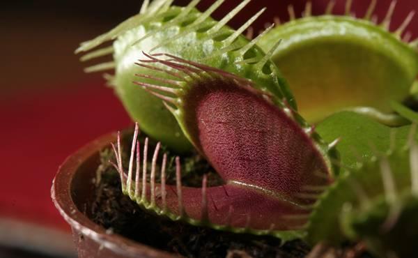 biljke-mesozderke