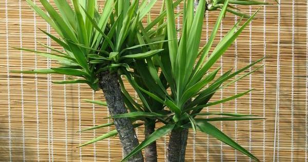 Drvo života – dekorativna i nezahtevna biljka