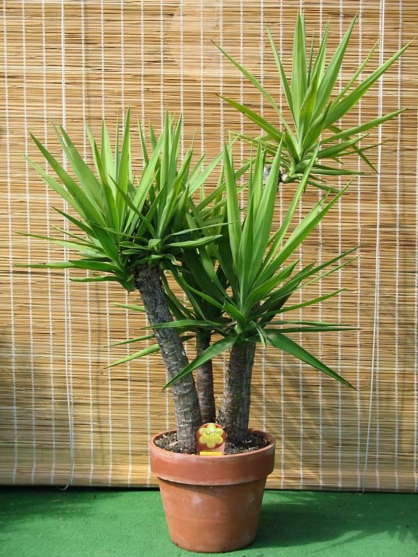 Yucca gloriosa L. in clay pot + Florero