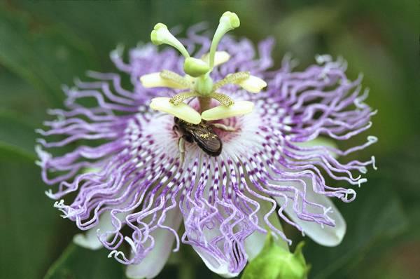 Passiflora incarnata & Hymenoptera