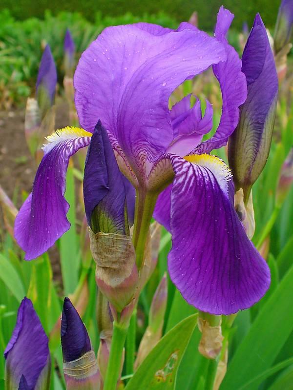 iris cvece