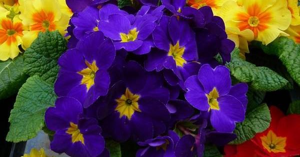 Jagorčevina – ljupki vesnik proleća