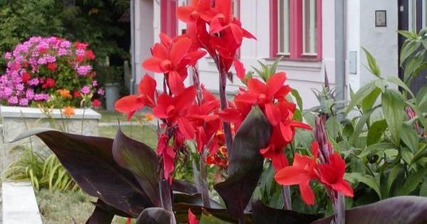 Kana – bogato cveta od proleća do kasne jeseni