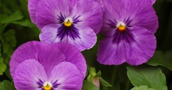 Ljubičice – mogu da cvetaju i deset meseci