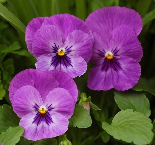 Ljubičice – mogu da cvetaju i deset meseci | CVEĆARSTVO Ljubicice Cvece