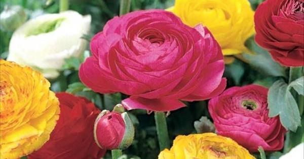Ljutić – baštenska biljka raznobojnih cvetova
