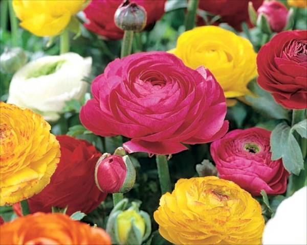 Ranunculus 'Mixed Colours'