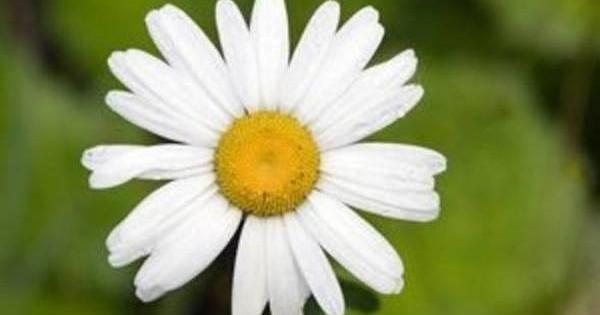 Margareta – popularna i za baštu i kao rezani cvet