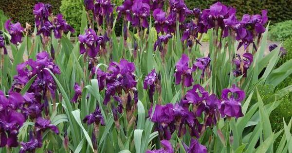 Iris (perunika) – omiljena baštensa biljka