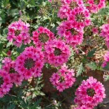 Verbena: medju najlepšim balkonskim cvećem