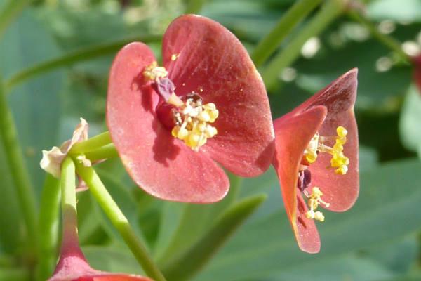 Euforbija cvece
