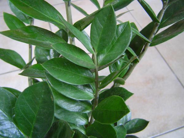Zamija biljka