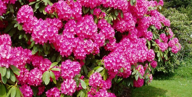 Rododendron – prelepi grmovi jarkih boja
