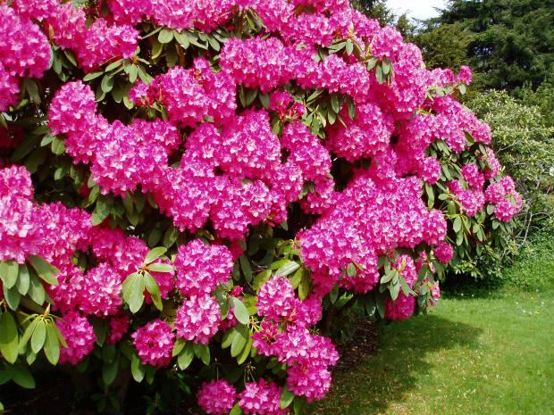 rododendron cveće