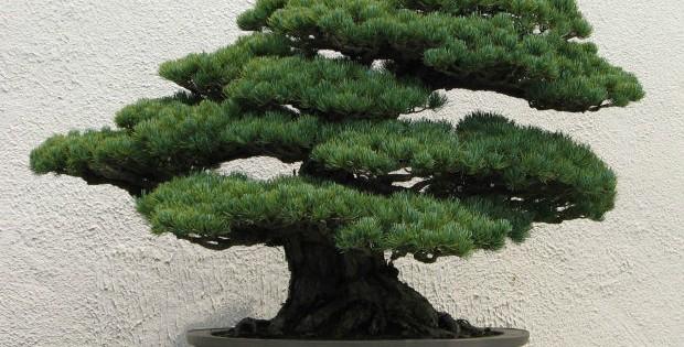 Bonsai drvo, lepota istočnjačke umetnosti