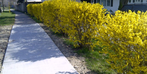 Forzicija, zlatnožuti listopadni grm