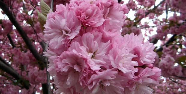 Japanska trešnja, ukrasno drvo raskošne krošnje