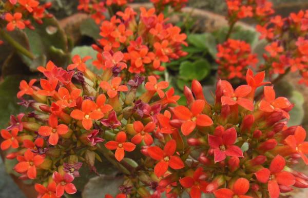Kalanhoja cvece