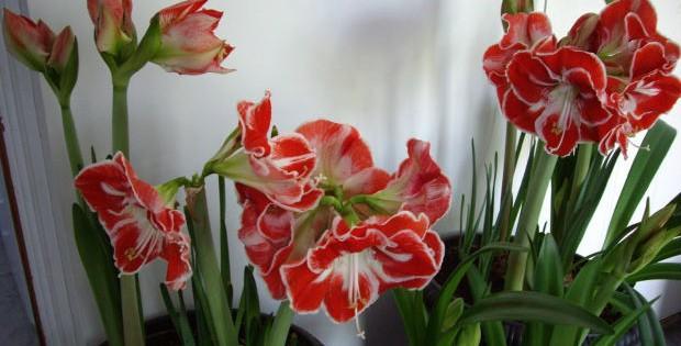Amarilis (Kameni cvet), sobna biljka raskošnih cvetova