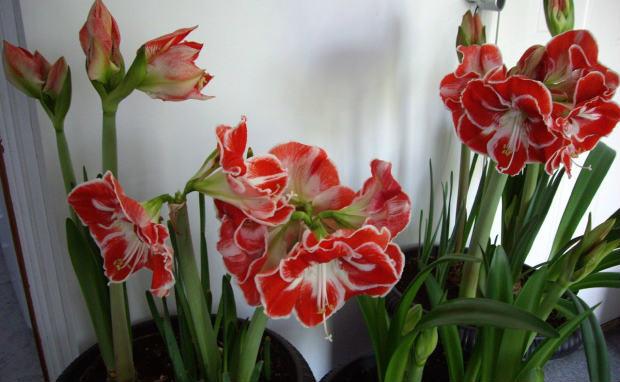 Kameni cvet
