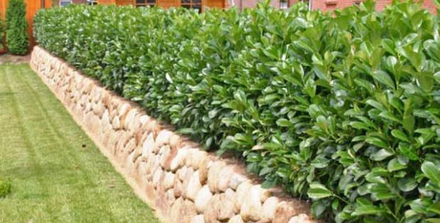 Lavor višnja, izvanredno gusta živa ograda