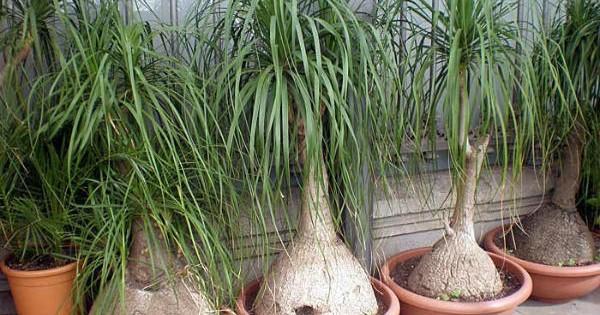 Nolina – Slonovo stopalo, sobna tropska biljka