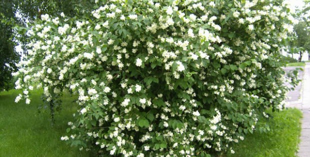 Dekorativno šiblje i žbunje, terapeutski učinak na naš vrt