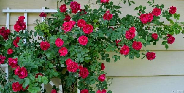Ruže puzavice i penjačice, cveće koje pruža spektakularan prizor