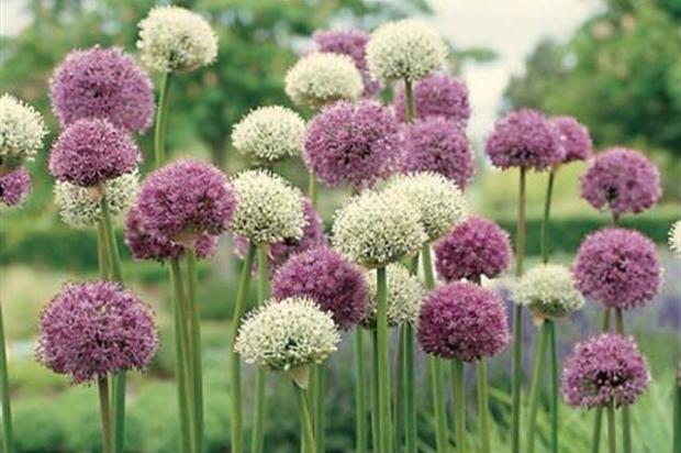 Ukrasni luk biljka