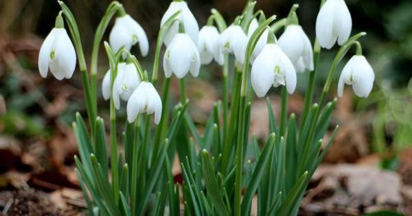Visibaba, radosni vesnik proleća