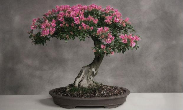 bonsai drvo uzgoj
