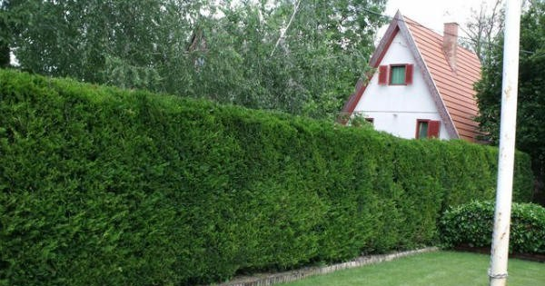 Čudesna živa ograda, biljka koja stvara prijatnu senku