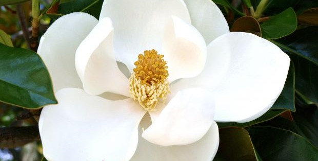 Magnolija, prelepa kraljica proleća
